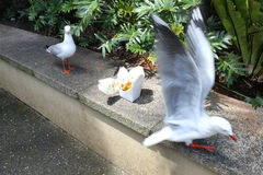 Two gulls discovered forgotten box of take-away food. Consisting mainly of rice, outdoor, low wall, sunny day stock photos