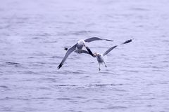 Two gulls fight for fish. Stock Photo