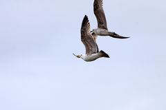 Two gulls fighting in the air Royalty Free Stock Image