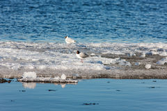 Two gulls on ice Stock Image