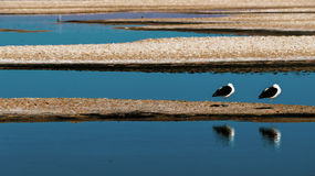 Two gulls in the lake. Gulls in the Salar de Atacama, the largest salt flat in Chile Royalty Free Stock Photos