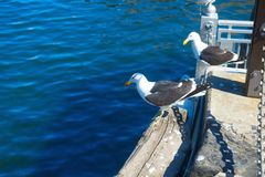 Two gulls resting in Cape Town harbour Stock Photo