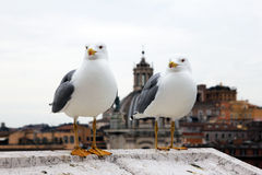 Two gulls Stock Images