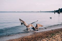 Two Gulls on Shore royalty free stock photo