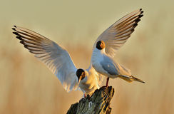 Two gulls sitting on a old log in sunrise light Royalty Free Stock Images