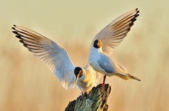 Two gulls sitting on a old log in sunrise light Stock Image