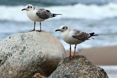 Two gulls sitting on the rocks Stock Images