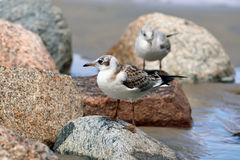 Two gulls sitting on the rocks Royalty Free Stock Image