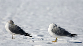Two gulls on snow. Are warmed bills hiding a bill under a wing Stock Images