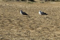 A two gulls stand on the sand stock images