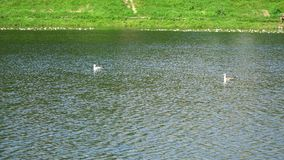 Two gulls swim in the pond. Summer day stock video