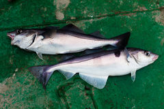 Two haddock royalty free stock image