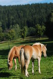 Two haflinger horses. On the pasture Royalty Free Stock Photos
