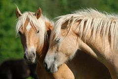 Two haflinger horses. On the pasture Stock Photos
