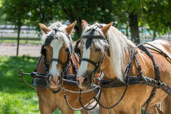 Two Haflinger horses ready for the carriage Royalty Free Stock Image