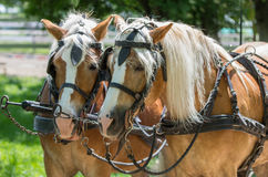 Two Haflinger horses ready for the carriage Stock Images