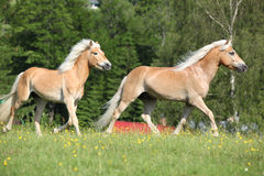 Two haflinger horses running on pasturage Stock Photo