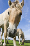 Two Haflinger Stock Photos