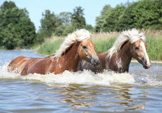 Two haflingers moving in water Royalty Free Stock Photography