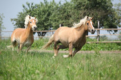 Two haflingers running on pasturage Stock Image