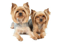 Two haircut dogs Royalty Free Stock Images
