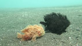Two Hairy Frog-fishes walking on the sea bottom. Two Hairy Frogfishes walking on the sea sandy bottom, Lembeh, Indonesia stock footage