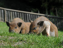 Two hairy pigs lying in the grass. Enyoing the warm sun stock photos