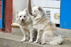 Two hairy white dogs on asia city street Royalty Free Stock Photo