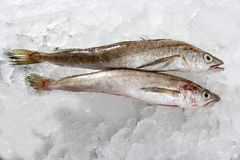 Two hake fish  on ice Royalty Free Stock Photo