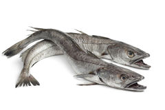 Two Hake fishes. On white background Royalty Free Stock Photography