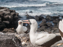 Two and a Half Blue Footed Boobies Royalty Free Stock Image