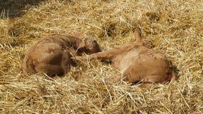 Two half-grown calves Royalty Free Stock Photos