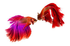 Two Half moon Siamese Fighting Fishes isolated on white background Stock Images
