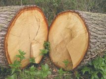 Two halves. A felled tree showing the two halves of the trunk Stock Photos