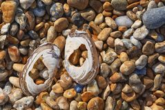 Two halves of tellin shells on shingle beach, Dungeness, Kent. Broken and peeling, two halves of tellin shells lie on a stony beach, lit by the morning sun stock images