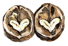 The Two. Two halves of a walnut, with heart-shaped cores Stock Photography