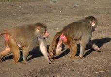 Two Hamadryas baboon Royalty Free Stock Photos