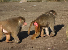 Two Hamadryas baboon Stock Photos