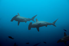 Two hammerhead sharks in the blue waters royalty free stock images