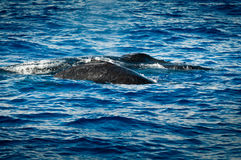 Two hampback whales side by side Royalty Free Stock Image