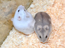 Two hamsters Stock Images
