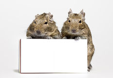 Two Hamsters With Blank Poster In Paws Stock Photos