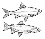 Hand drawn Roach fish. Two Hand drawn fishes, animal sketch illustration. engraved etch ink. Marine food. Healthy seafood. Organic product. Black on white Royalty Free Stock Images