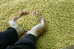 Two hand hold soybean Royalty Free Stock Photo