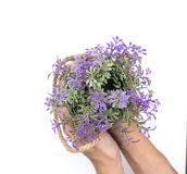 Two hand is holding purple flower bucket  Stock Photo