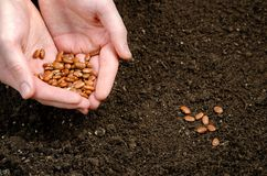 Two hand holding seeds Royalty Free Stock Photos