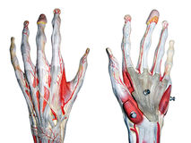 Two hands. 2 hands for medical study stock images