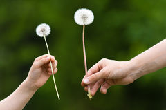 Two hands, child and women, holding a dandelion on blurred backg Stock Photo