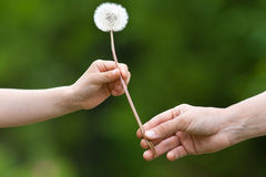 Two hands, child and women, holding together a dandelion on blur Royalty Free Stock Photos