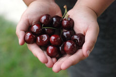 Two hands holding bunch of fresh cherries Stock Images